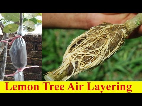 Grafting Of Lemon Tree Easy | Lemon Tree Air Layering | লেবু গাছের গুঁটি কলম
