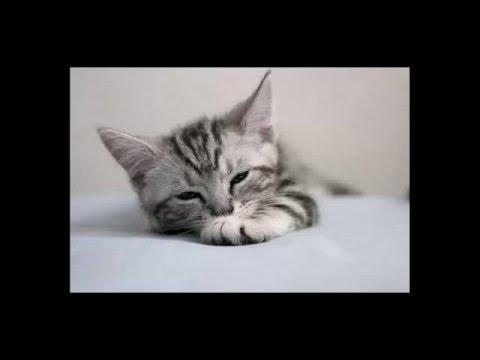 most beautiful cats / kedi cinsleri - american shorthair / cat breeds - american shorthair