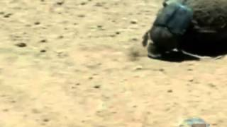 Dung beetle earns Wits an award