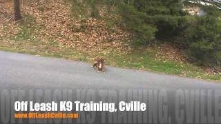 Can Your Pup Hold A Down Under Distraction? Harley Can Now! | Dog Training Staunton