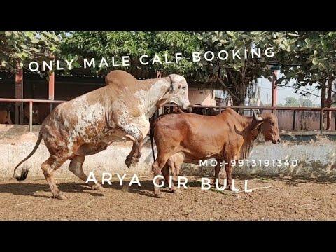 Gir BULL ARYA WORLD TOP CLASS Results |Booking MO :-9913191340 |