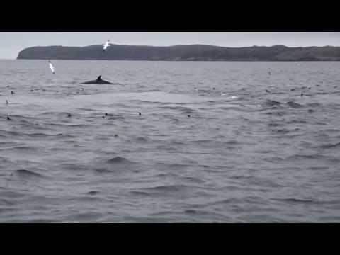 Minke Whales - Scotland