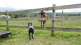 蒜山高原で ワラワラと牛がー! 最後は 呼び寄せた牛につられ 観光客の皆さん...