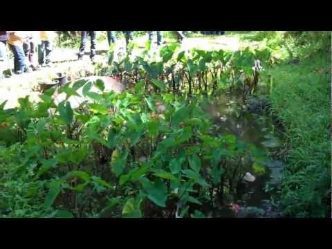 Poi Patch - Taro Plant