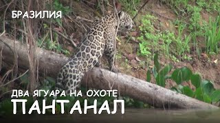 Мир Приключений - Два ягуара на охоте. Пантанал. Бразилия. The two jaguars on the hunt. Pantanal.(Весь цикл фильмов: http://mir-prikliuchenii.com/movies В планах: http://mir-prikliuchenii.com/plans Фрагмент из фильма:
