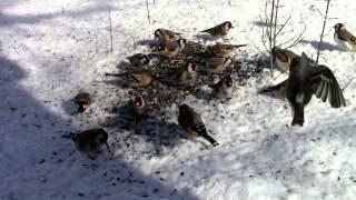 видео птицы зимой