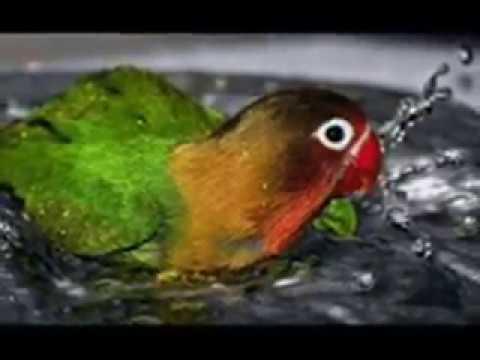 Ketahuilah Cara Mengobati Burung Lovebird Yang Lumpuh Youtube