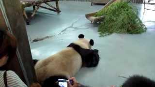 Horror At Shanghai Zoo, China: Bears, Red & Giant Panda