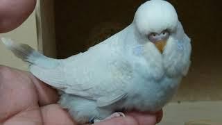 Часть: 1 // Размножение волнистых попугаев в домашних условиях // кладка яиц волнистых попугаев