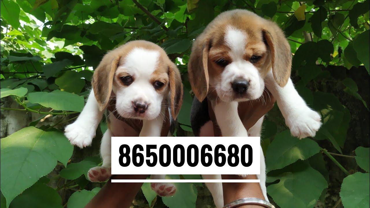 Pet Care Dog Beagle Puppy Male For Sale 8650006680 In Dehradun