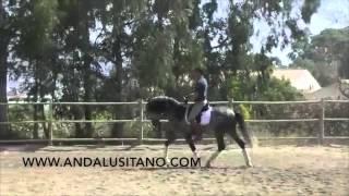 Talented PRE stallion