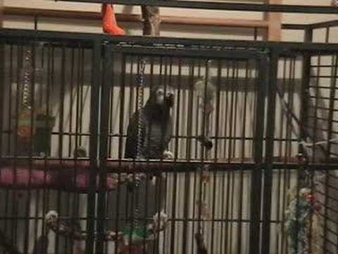 Tui the African Grey Parrot Talking and having conversation while in her cage