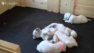Live Puppy Cam - English Cream Golden Retrievers