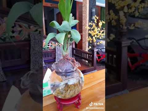 Bonsai Kelapa Media Air Youtube