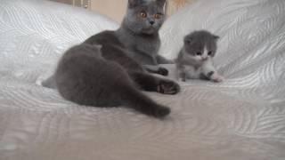 Британские котята п к Вижуха помёт К