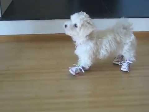 maltese pup wearing shoes - YouTube 7e72683e55c9