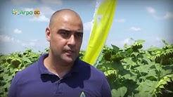 Перфектна растителна защита в слънчоглед
