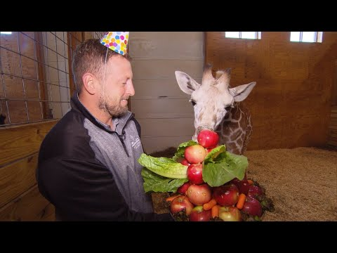 Download Youtube: How April The Giraffe's Baby Calf Celebrated His 6 Month Birthday