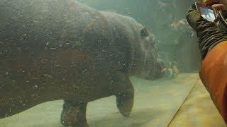 旭山動物園 新施設「かば館」を自由に泳ぎ回るカバの百吉(ももきち) ...
