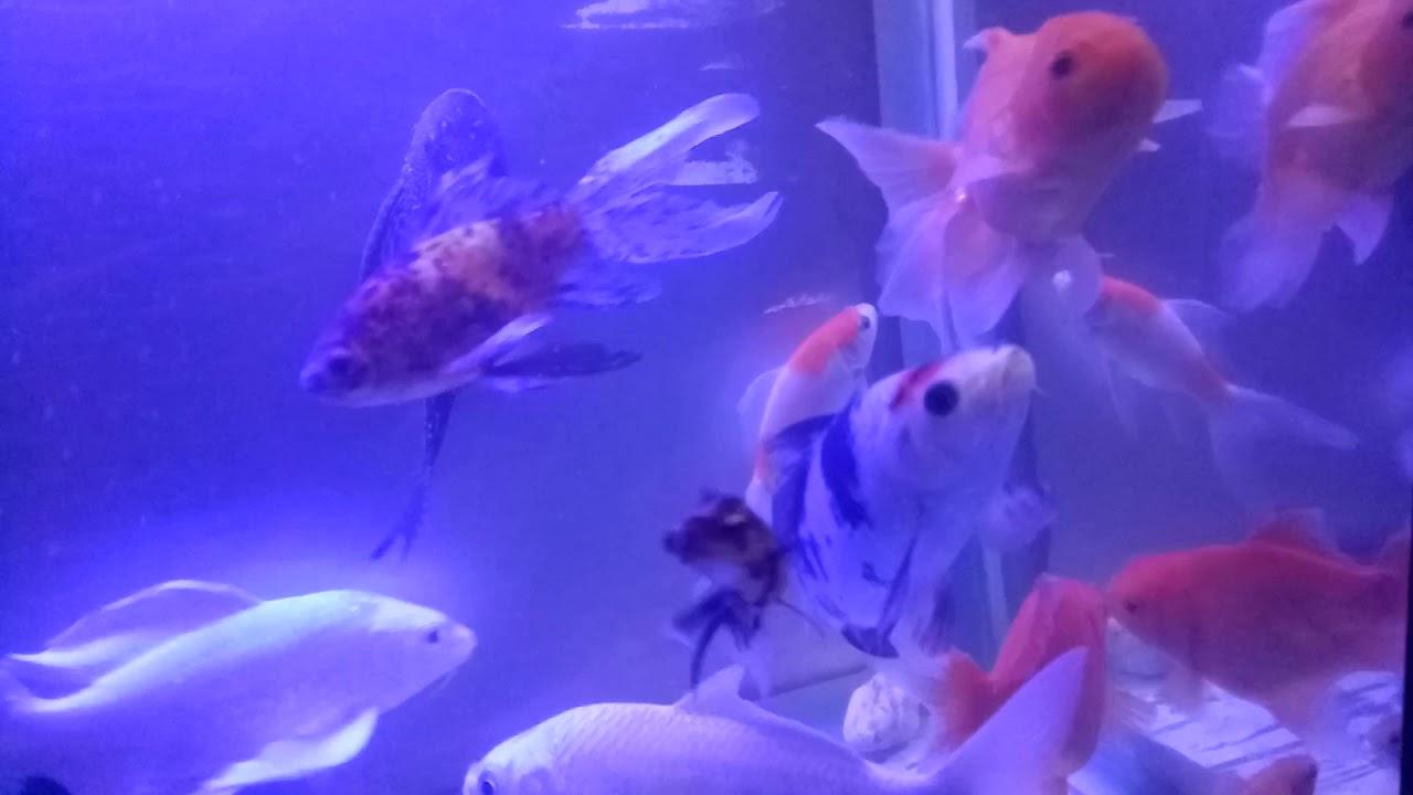 Ikan Koi Jangan Di Tonton Di Detik 36 Di Akuarium Dengan Led Biru