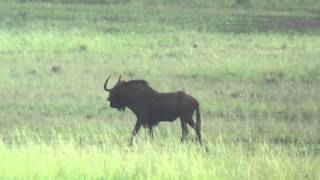 South Africa Black Wildebeest Hunting March 2016