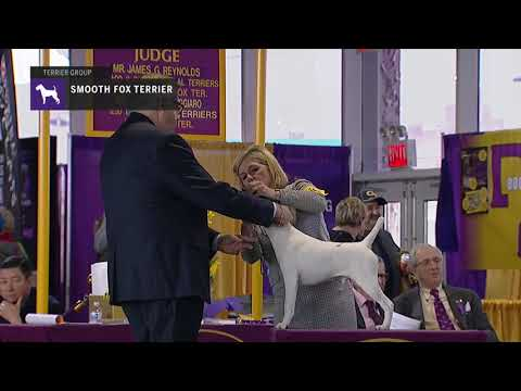Fox Terriers Smooth | Breed Judging 2019
