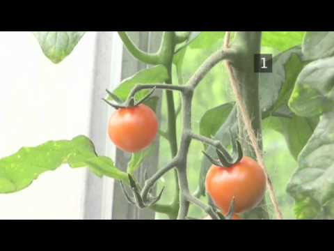 Repeat How and When to Pick Tomato Plants by Homebaseuk