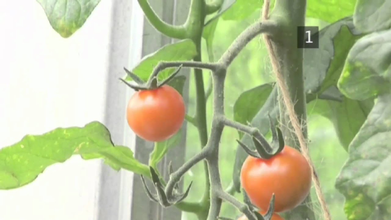 How and When to Pick Tomato Plants