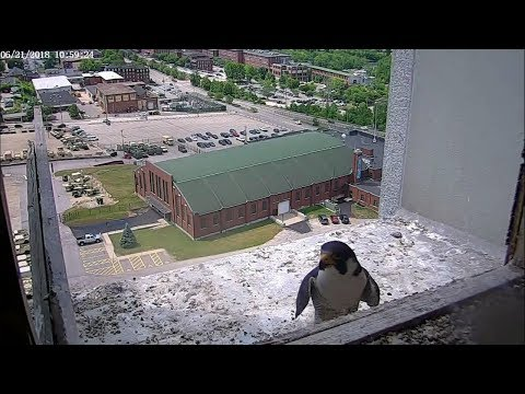 Manchester, NH Peregrine Falcon - Sunbathing, Penguin Dad and conversation 20180621