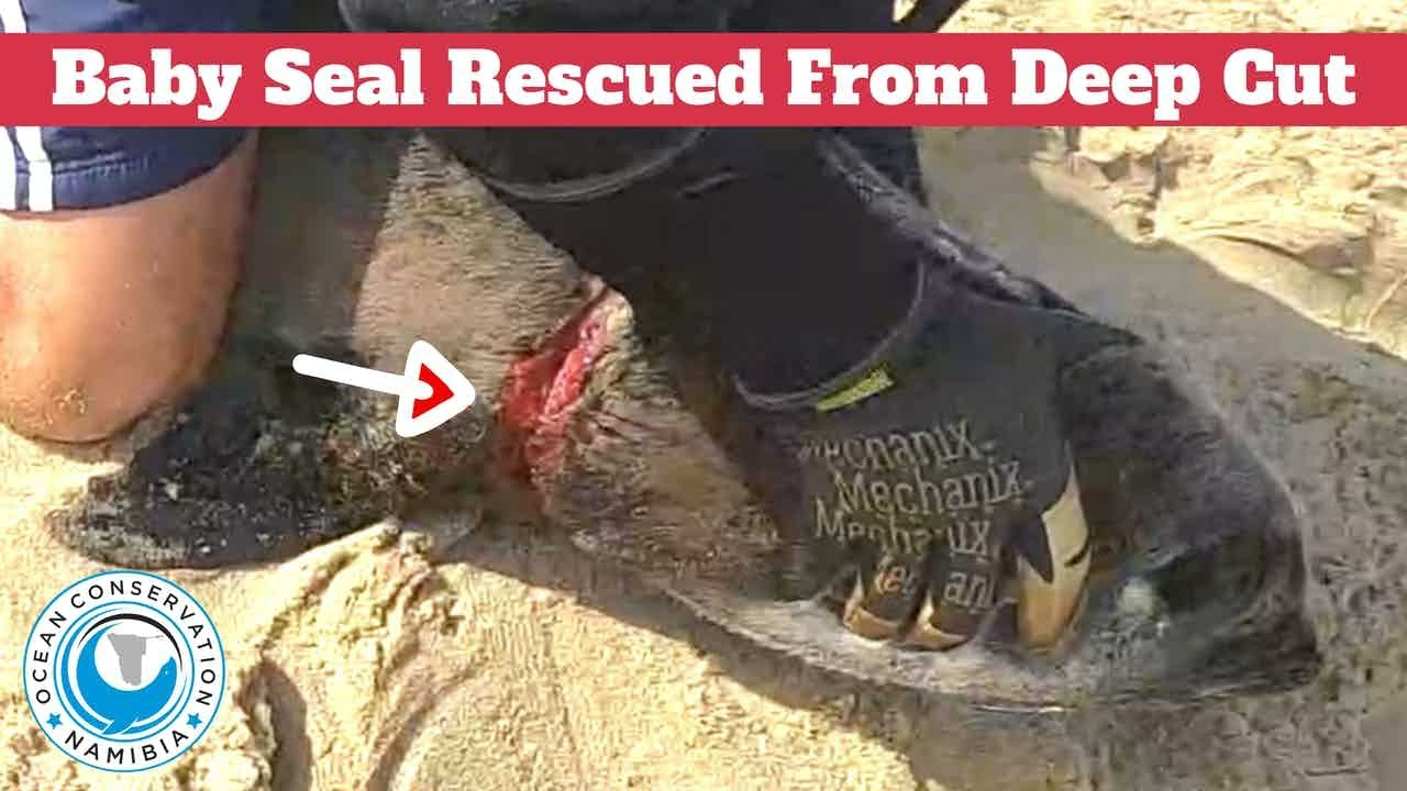 Baby Seal Rescued From Deep Cut