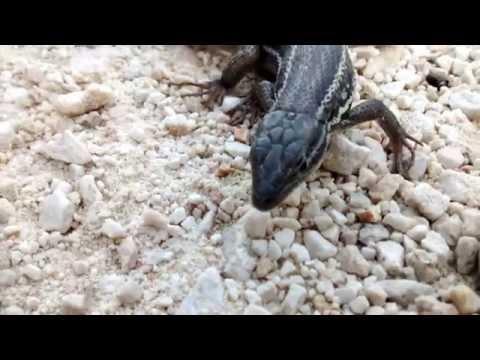 sonido de una lagartija