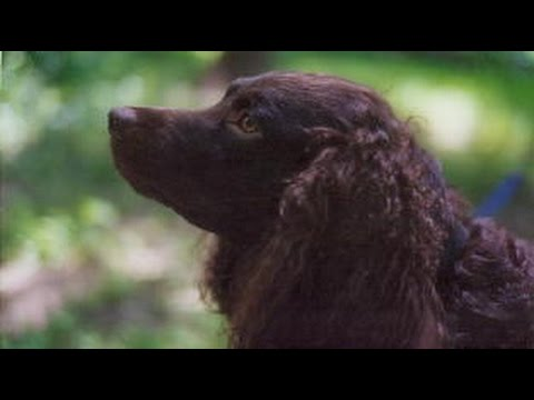 American Water Spaniel - Dog Breed