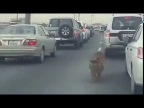 Tiger escapes and walks through traffic jam  Doha, Qatar
