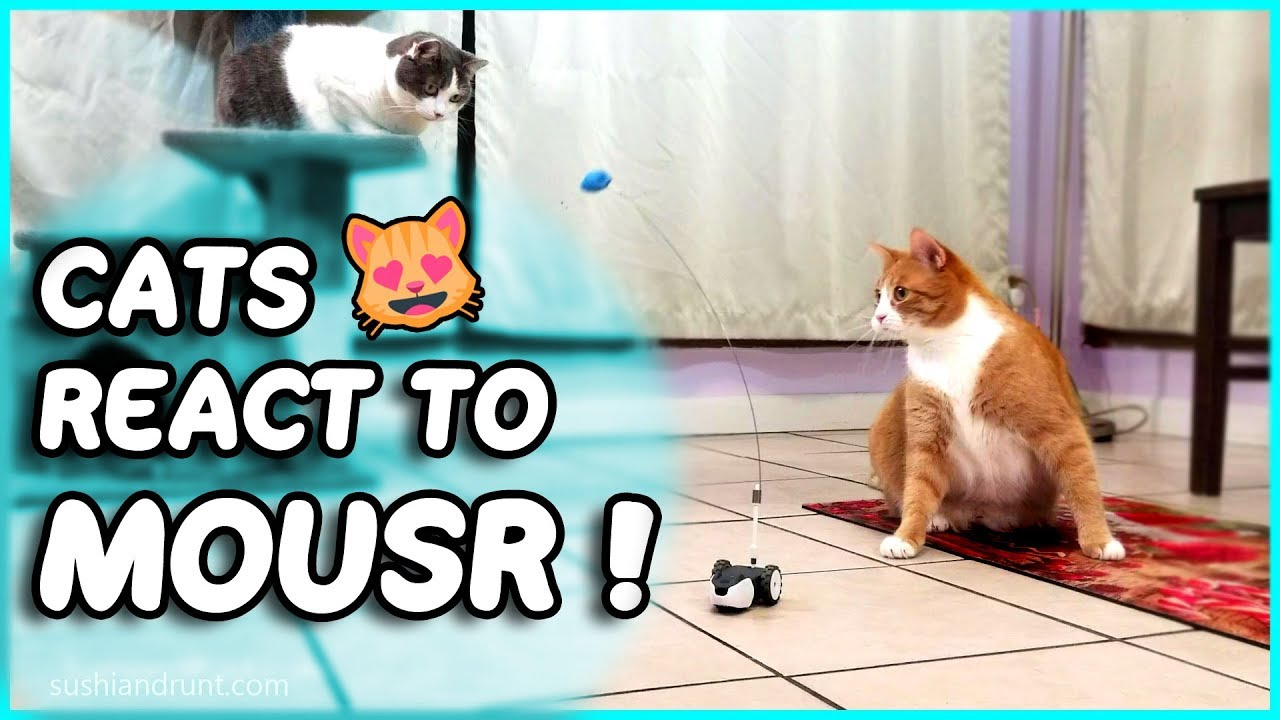 Cats React to Mousr - Review - Robot Mouse Cat Toy