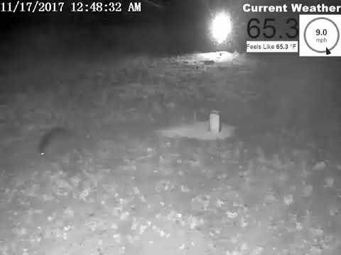 Raccoons On Camera 11-17-17