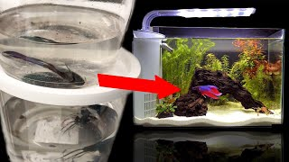 Rescuing dying betta from Walmart! FISH ABUSE!?