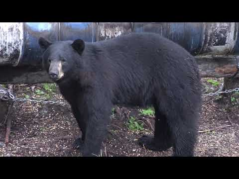 25  HUGE BEARS SHOT COMPILATION