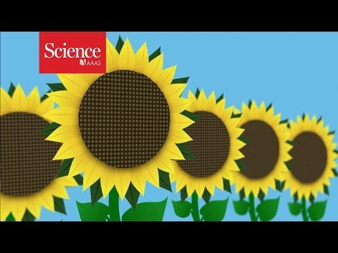 Why Sunflowers Follow The Sun