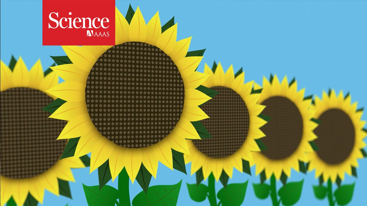 the mystery of why sunflowers turn to follow the sun solved the two way npr [ 1280 x 720 Pixel ]