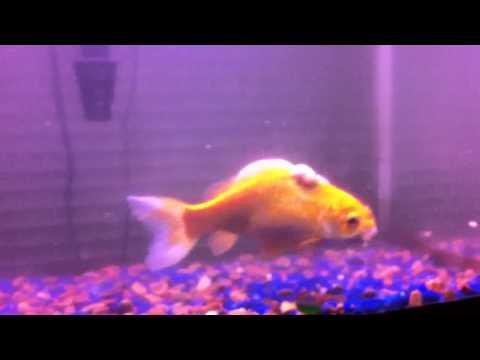 Extremely Large Lump On Goldfish