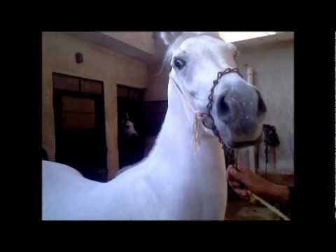 جغرافية سطح المظهر الخارجي السيد المسيح الحصان العربي الاصيل للبيع Myfirstdirectorship Com
