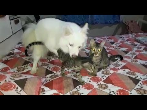 Dog and cat trying to sex