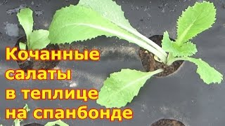 Посадка кочанных салатов на черный нетканый материал спанбонд в теплицу
