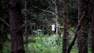 Kuh flieht vor ihrem Schlachter - und trifft merkwürdige Freunde im Wald!
