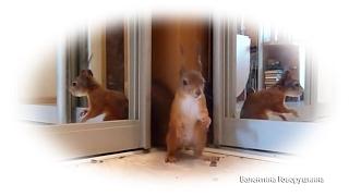 Белка Нобель. Тыринг орехов.. Noble pilferer of nuts