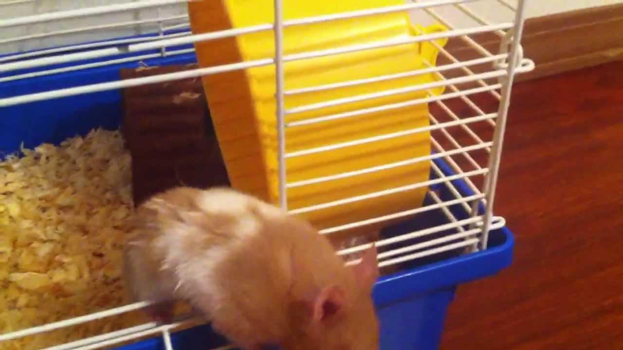 Fancy Teddy Bear Hamster
