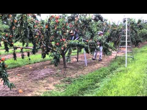 Romagnoli Farms Takes You in the Peach Orchard