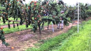 Romagnoli Farms Takes You in the Peach Orchard