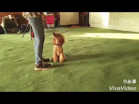 POODLE DOG TRICK☆