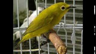 Suara burung pleci kacamata ngalas panjang untuk memancing bunyi versi 1